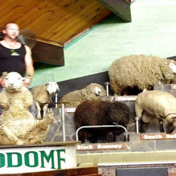 Agrodome Sheep Show  3