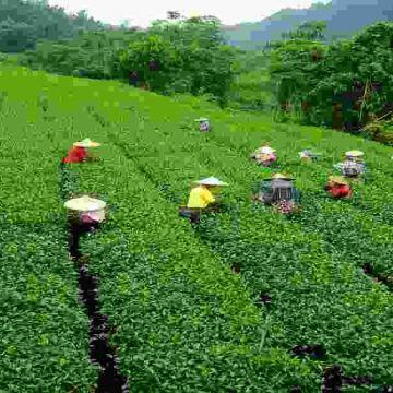 Darjeeling Tea Gardens